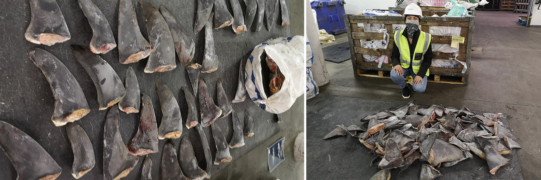 Simone Louw, TRAFFIC's Project Officer in Cape Town inspects a shark fin seizure concerning CITES-listed species. Photo via Markus Bürgener/TRAFFIC.